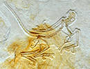 The eleventh Archaeopteryx