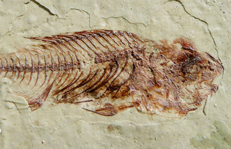 A lot of fish fossils discovered