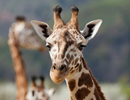 Bones reveal the secret of the exceptional long neck in giraffes
