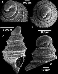 Tricarilda sp.