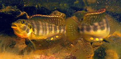 orthochromis