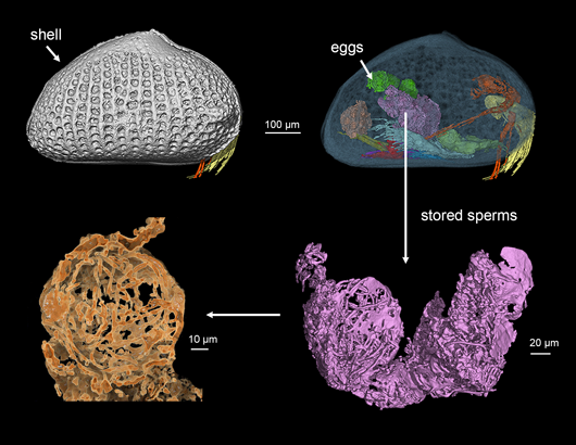 sperm_in_fossil_ostracod